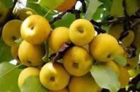大红果子香水梨