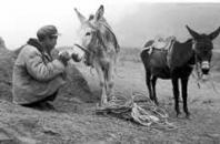 陕北黄土地上的毛驴儿