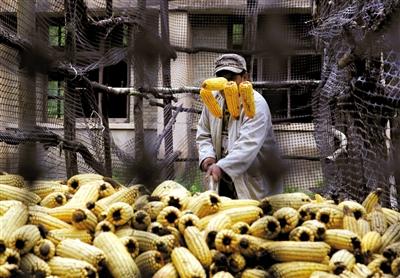 老知青潘建国正在整理玉米,这些天比较潮湿,潘建国要时常查看是否有霉变情况。