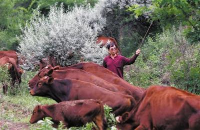 林树彬在牛场,和工人们一起要将100多头秦川牛赶出来,赶到5公里外的山坡上去吃草。