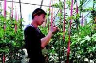大棚水果 给陕北菜农带来高收益